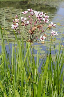 Flowering rush plant beside pond