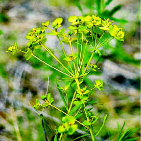 Leafy spurge in bloom