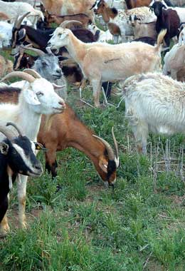 Goats in a herd