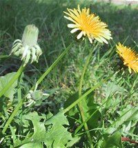 Common dandelion plant