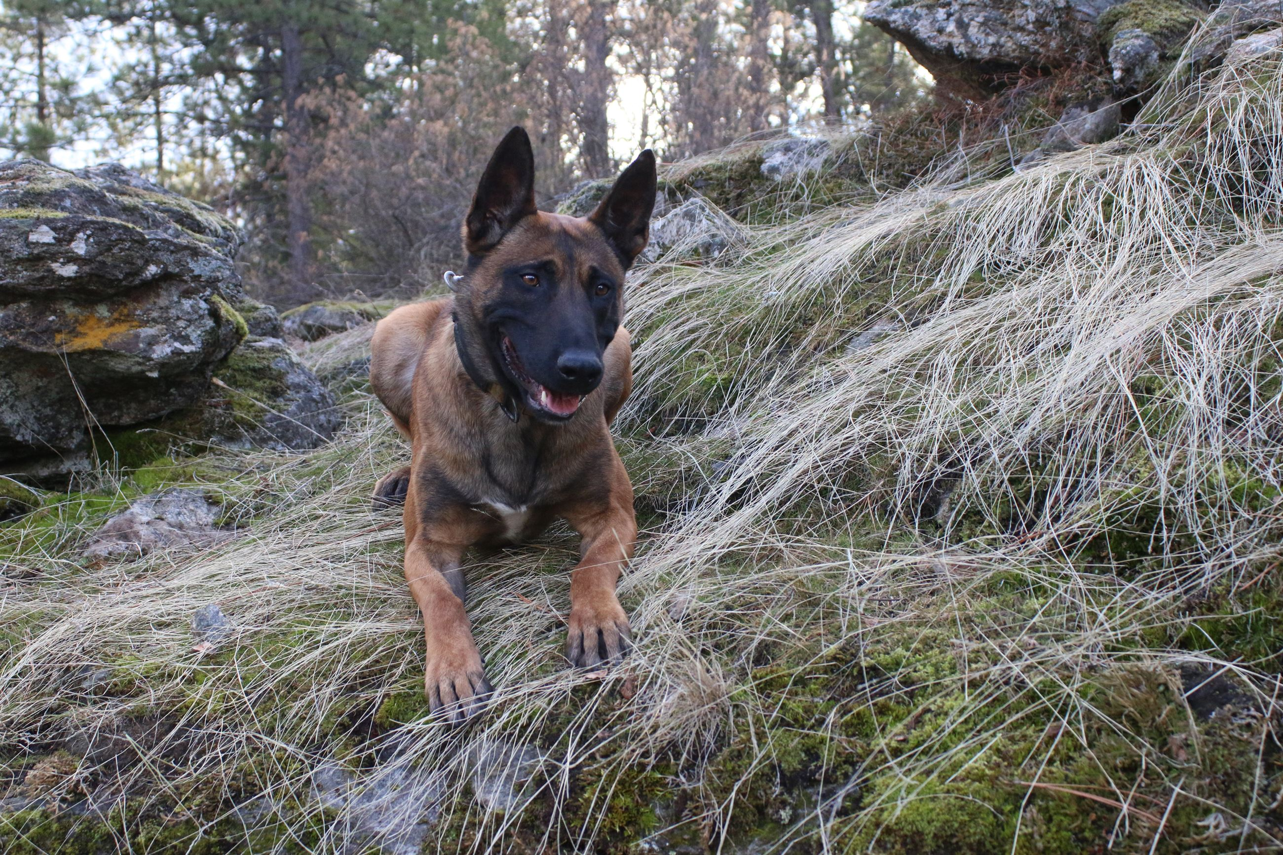 Image of a Police dog on a mossy rock